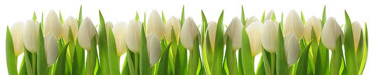 Fototapeta Kuchenna - Białe tulipany